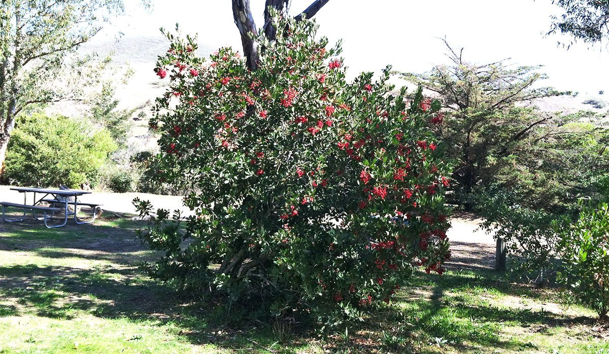 Toyon with Ripe Red Berries at El Chorro Regional Park Campground