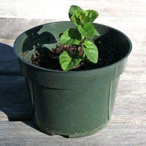 Yerba Buena Seedling from San Luis Obispo Botanical Garden