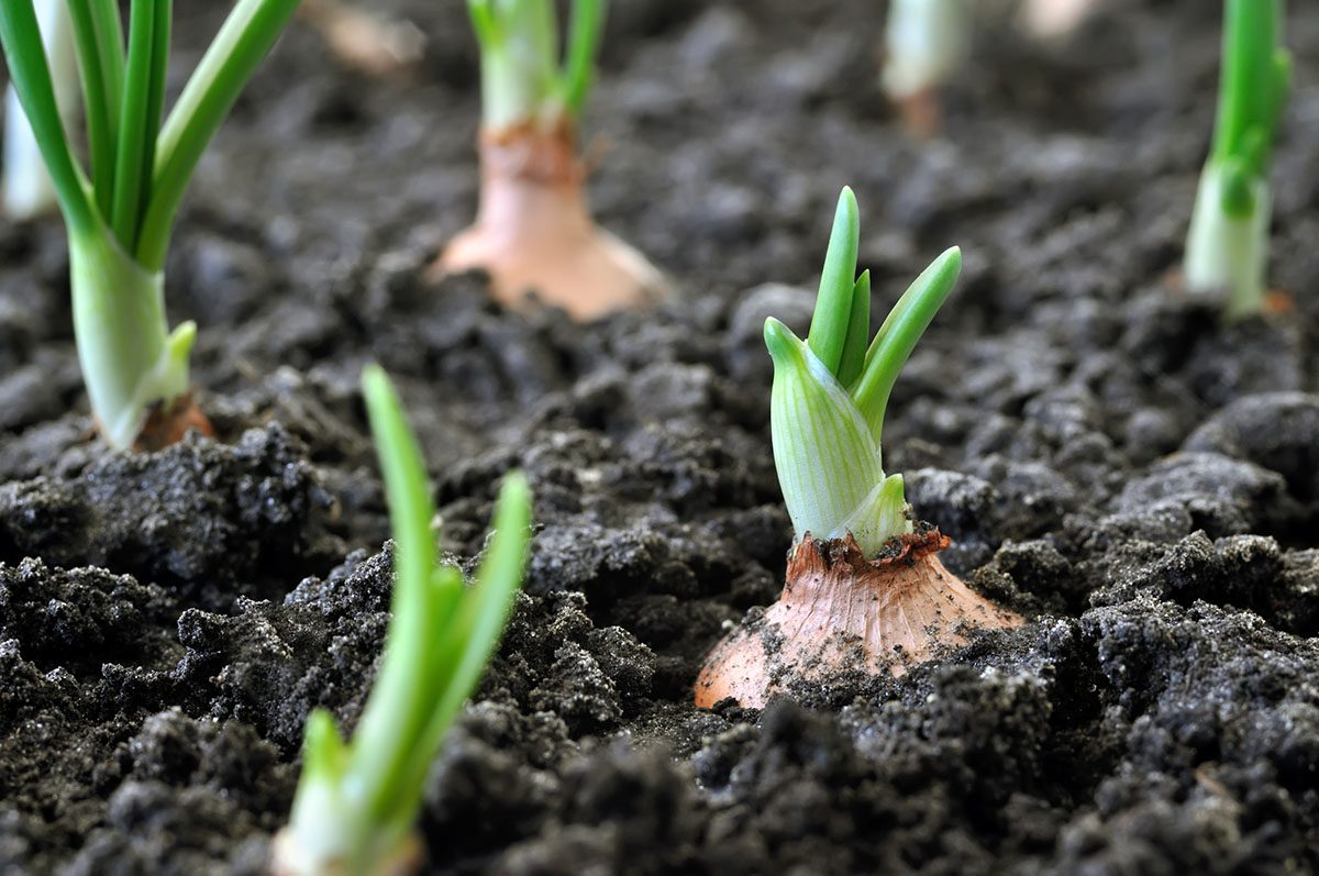 Close-up of Onions Growing in Soil
