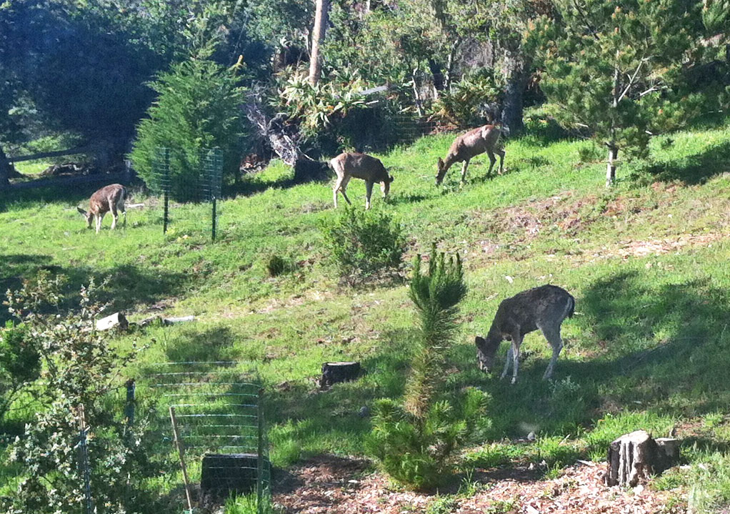 Four Mule Deer Grazing on Newly Sprouted Green Plants in Our Yard