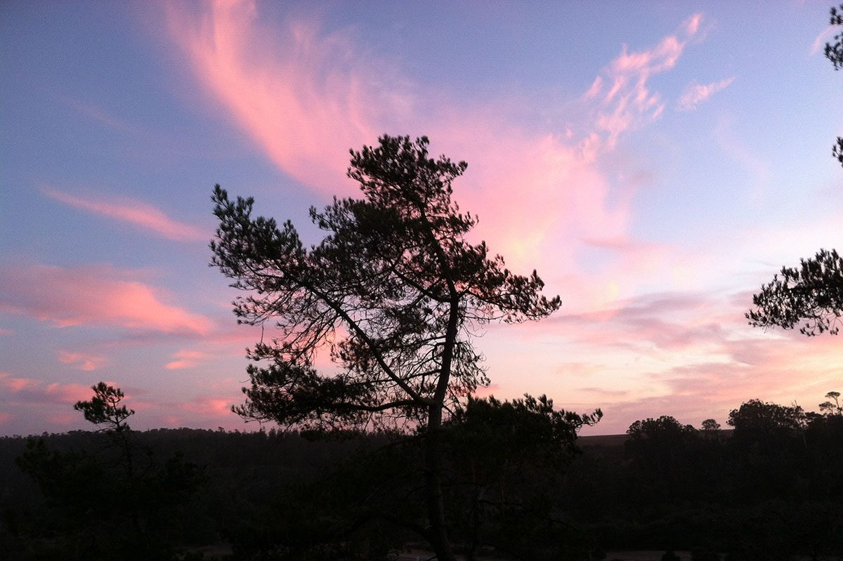 Monterey Pine Tree in Our Yard Silhouetted against a Colorful Sunset