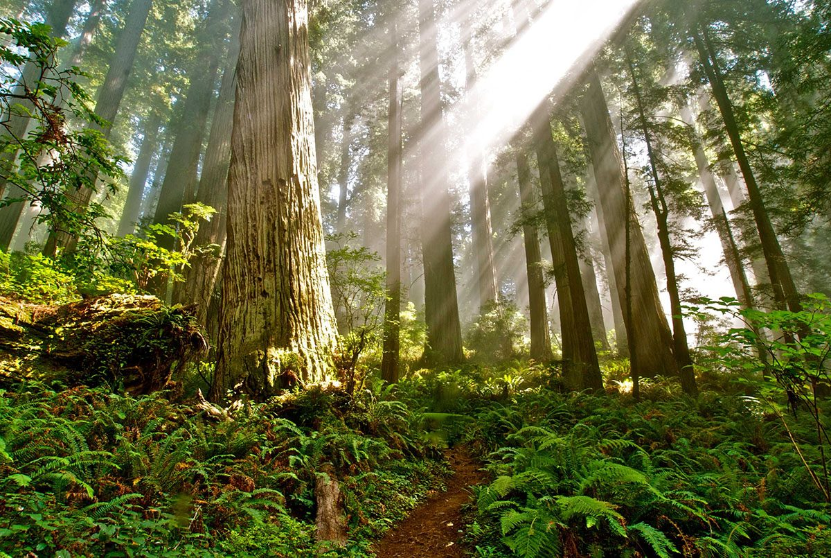 Redwood Trees in Del Norte Coast Redwoods State Park - Photo California State Parks