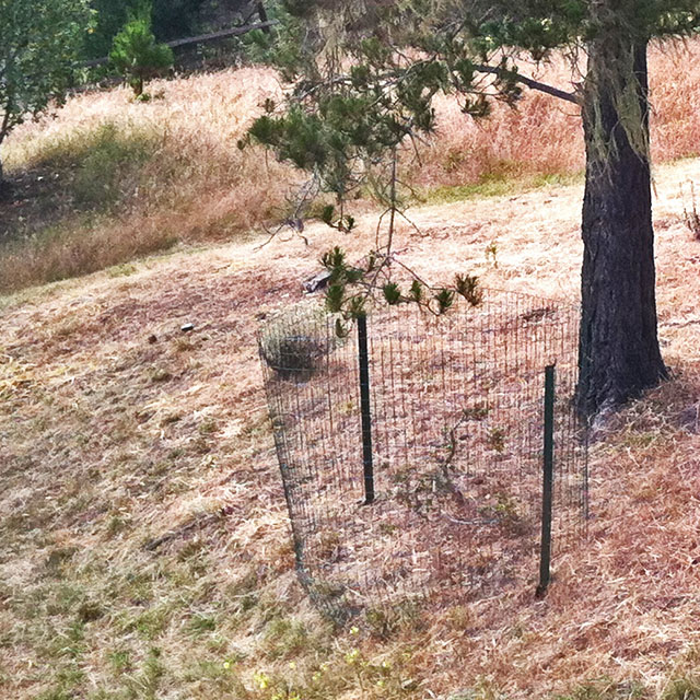 Oak Tree 1 with Deer Resistant Fencing 05-2013