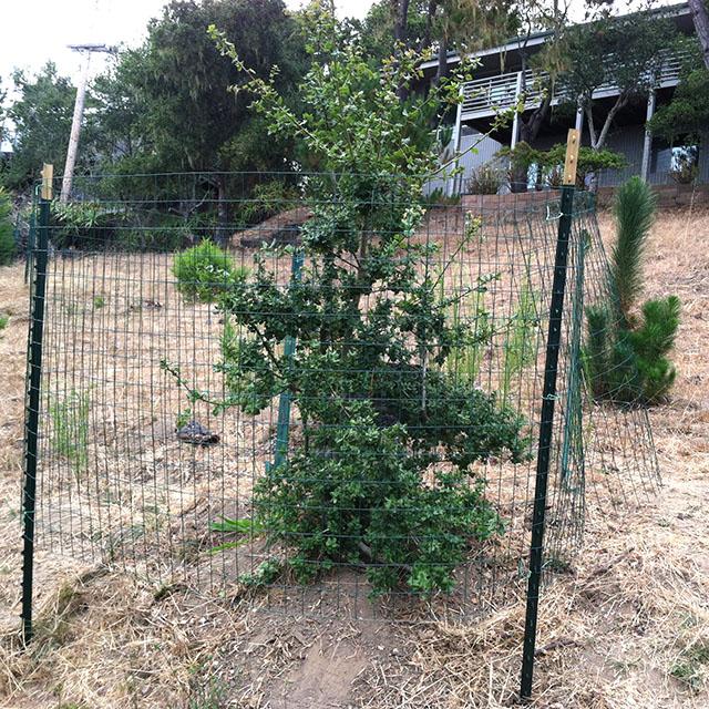 Oak Tree 1 with Deer Resistant Fencing 08-2017