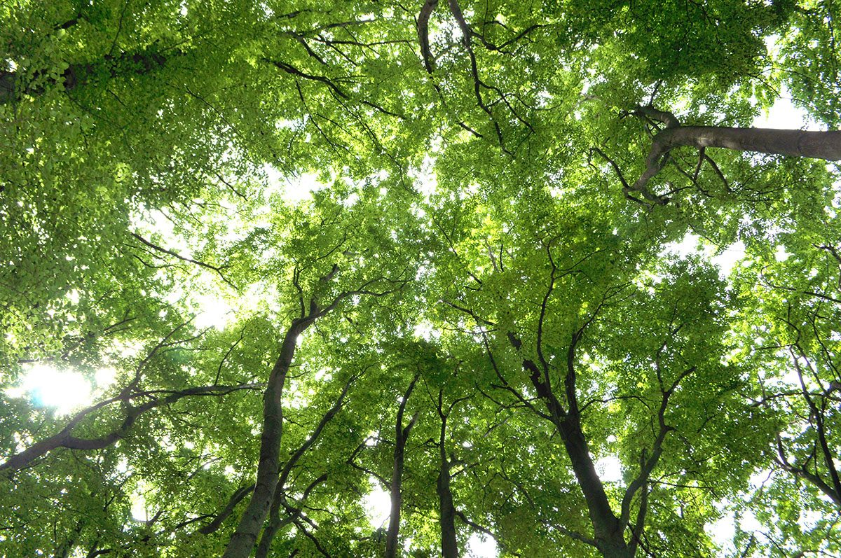 Beech Tree Forest Canopy in Germany