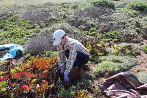 Volunteer Cutting Ice Plant around Native Plants at Fiscalini Ranch on April 28, 2018
