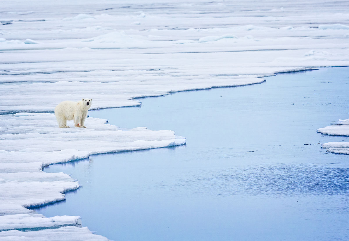 Polar Bear Standing on Edge of Sea Ice