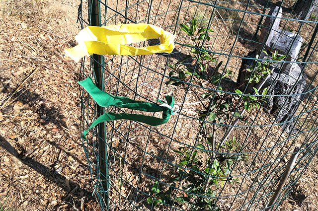 Yellow and Green Prayer Tied on Fence Around Ailing Toyon