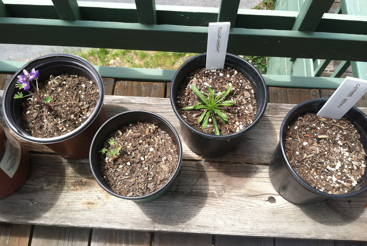 2 Arroyo Lupine, 1 California Buckwheat, 0 Coffeeberry Seedlings Grown from Seeds