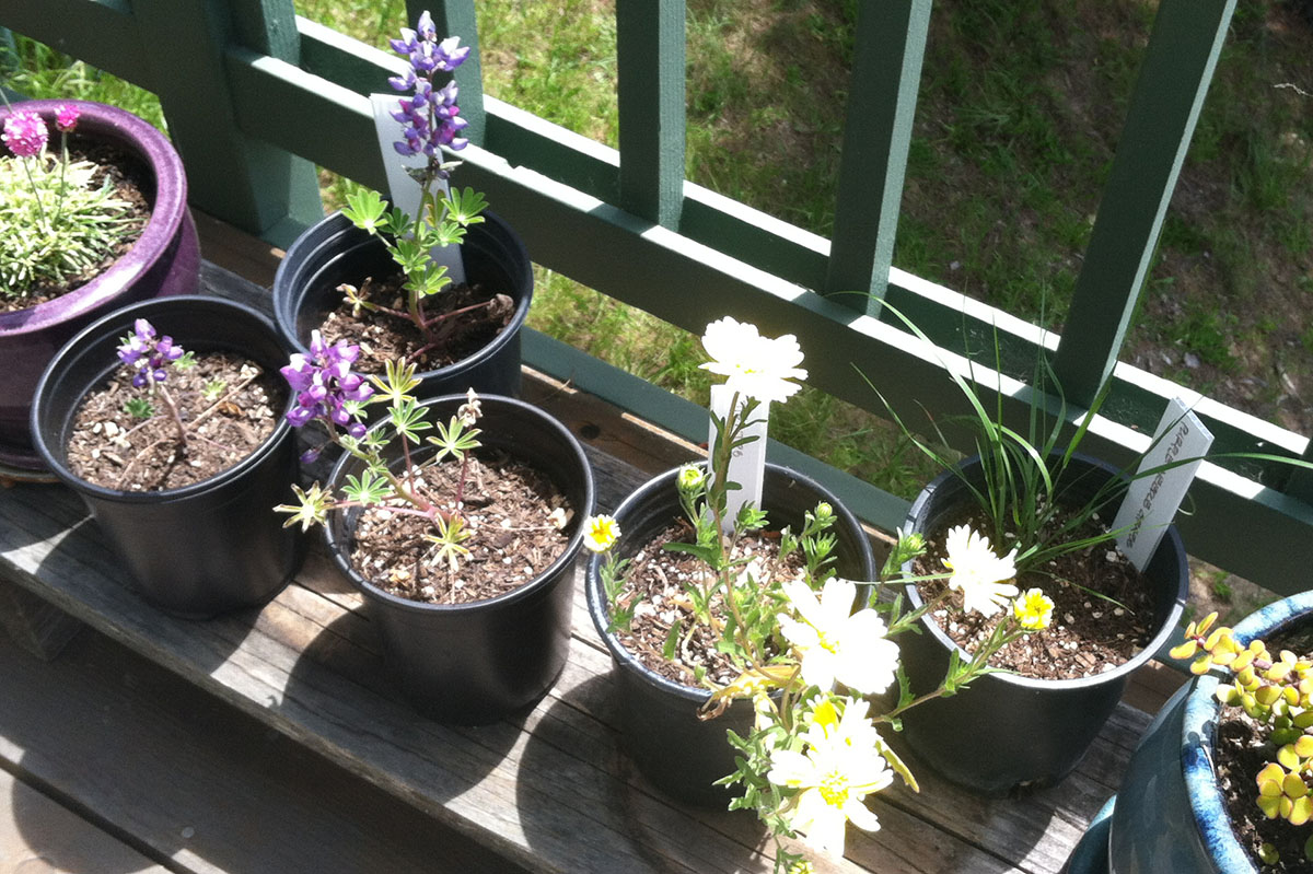 3 Arroyo Lupine, 1 Tidy Tips, 1 Purple Needlegrass Plants Grown from Seeds