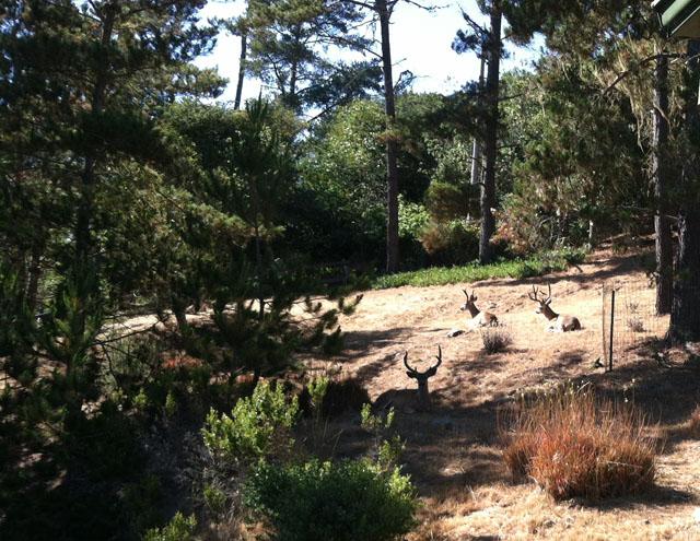 Mule Deer Bucks Napping in Our Yard