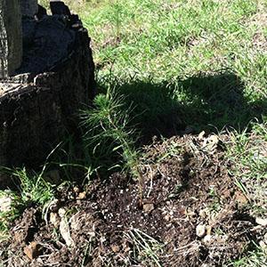 Monterey Pine Seedling 6 Planted