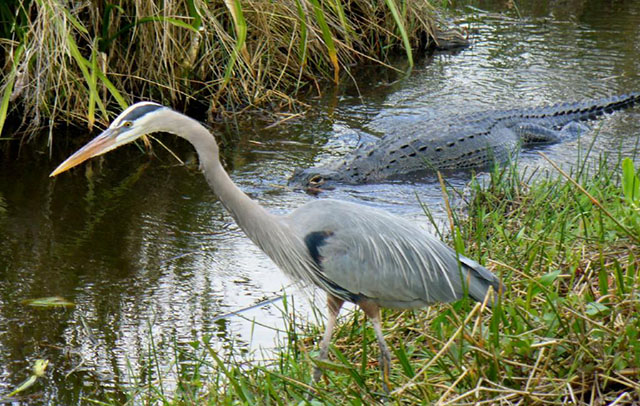 Blue Heron and Alligator at Everglades National Park