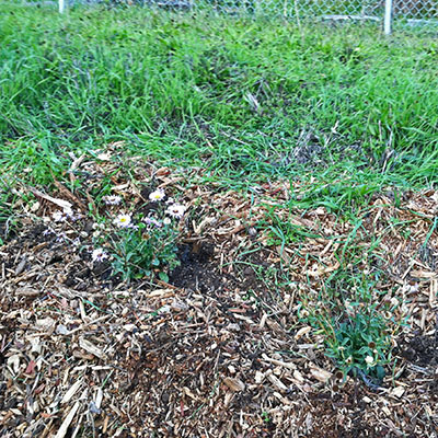 2 Seaside Daisies Replanted in Gopher Cages - Jan 2019