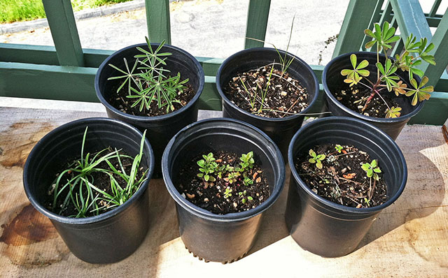 6 Pots with Seedlings Grown from Native Plant Seeds - Apr 2019
