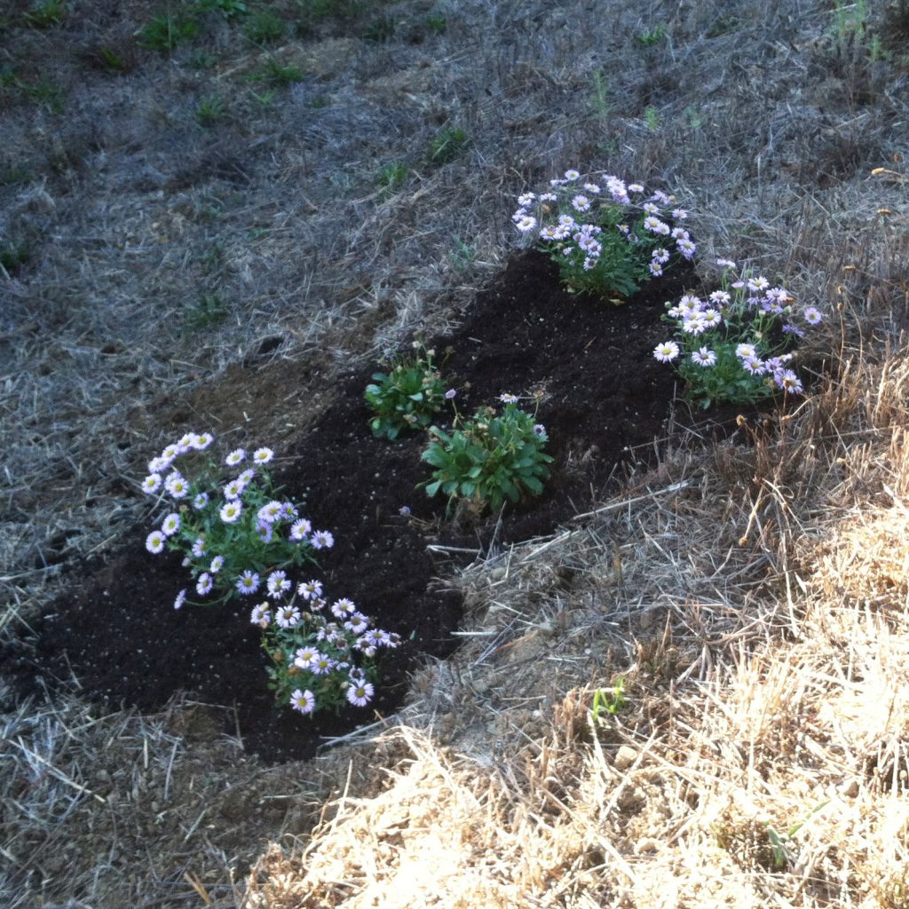 6 Seaside Daisies Just Planted - Nov 2018