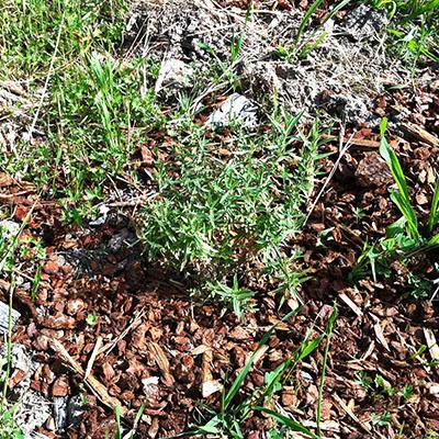 California Fuchsia in Yard - Apr 2019