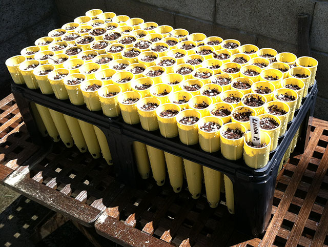 Rack of Monterey Pine Seeds Planted at Earth Day Event - April 21, 2019