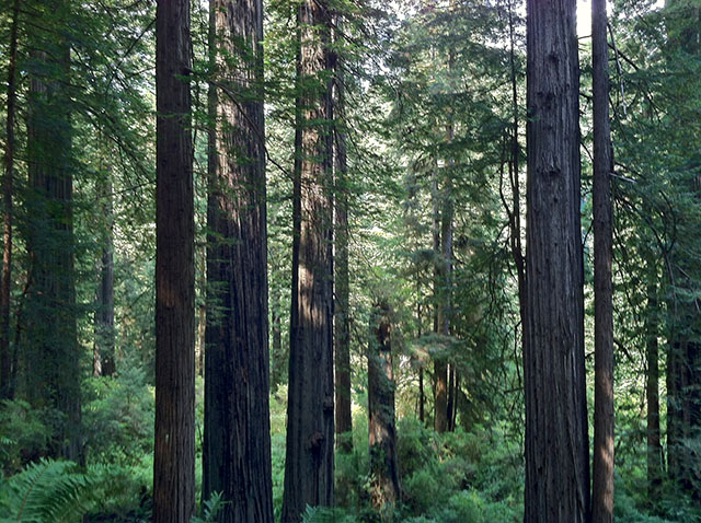 Redwood Trees in Prairie Creek Redwoods State Park - August, 2013