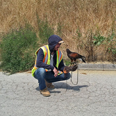 Falconer Aaron with Harris's Hawk at Cold Canyon Landfill