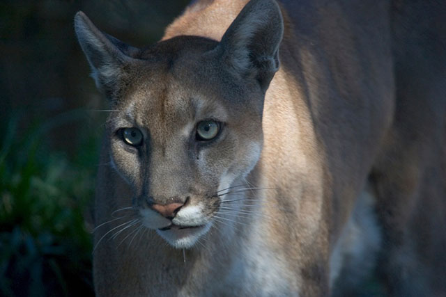 Florida Panther in Everglades National Park