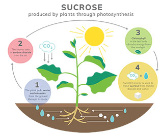 Plants Produce Sucrose through Photosynthesis Infographic