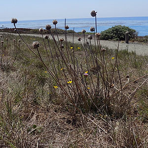 Thrift Sea Pink Plant with Dried Flowers and One Bloom at Fiscalini Ranch Preserve on August 24, 2019