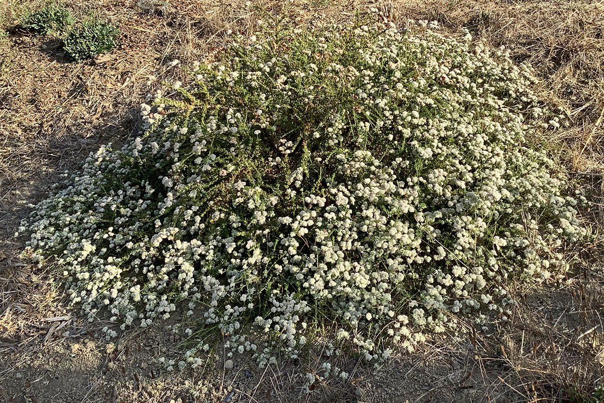Becky the California Buckwheat in Full Bloom - October 2019
