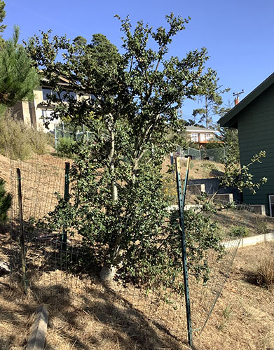 Coast Live Oak Tree Surrounded by Deer Protective Fencing - October 2019