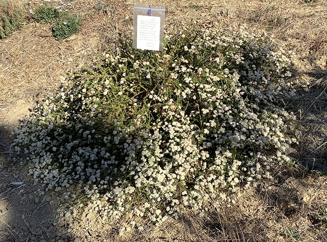 Becky the California Buckwheat with Thank-You Note in Our Yard