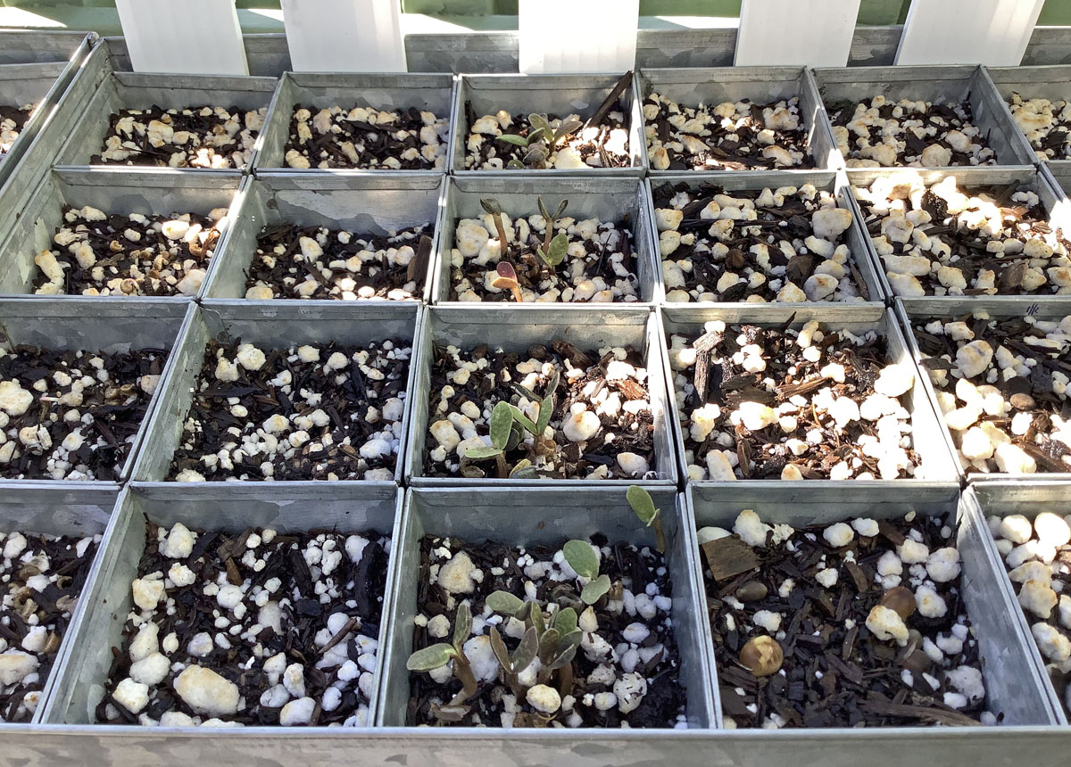 Arroyo Lupine Seedlings in Galvanized Steel Pots