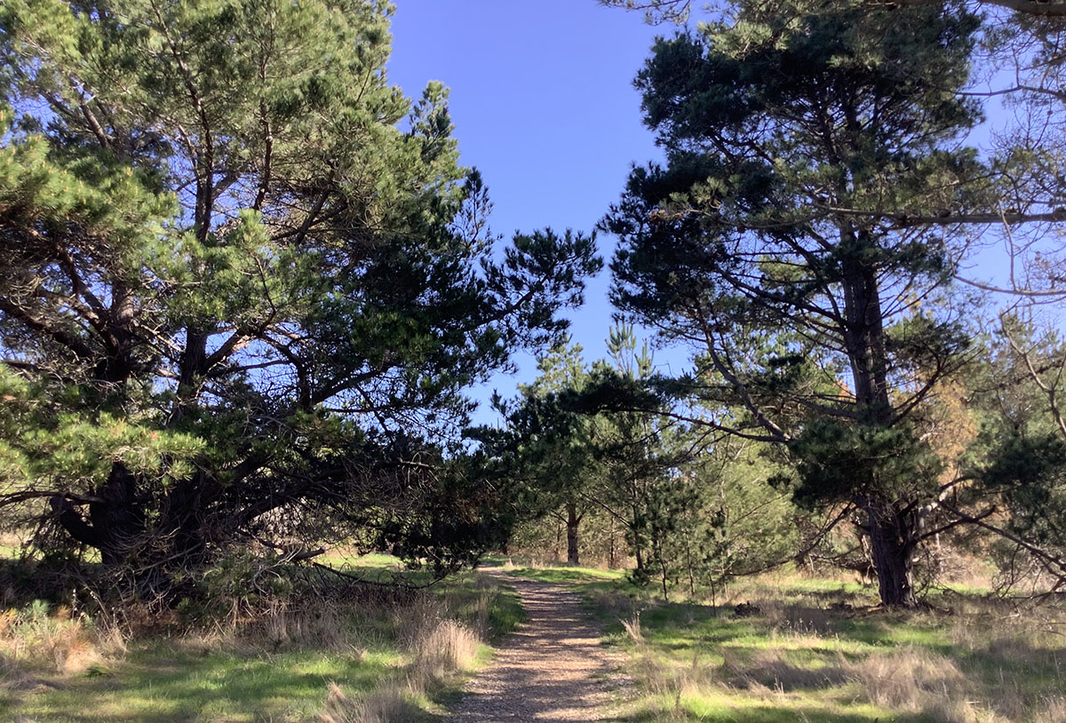 Path through Monterey Pine Trees on Fiscalini Ranch in Cambria, CA on January 28, 2020