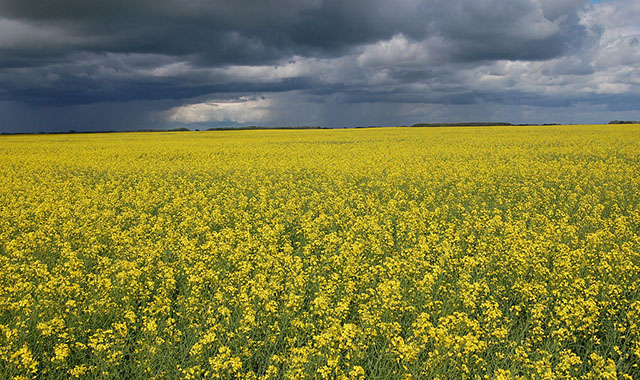 Blooming Canola Field in Saskatchewan, Canada with Storm Clouds