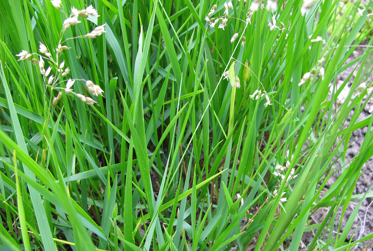 Living Sweetgrass Population (Hierochloe odorata)